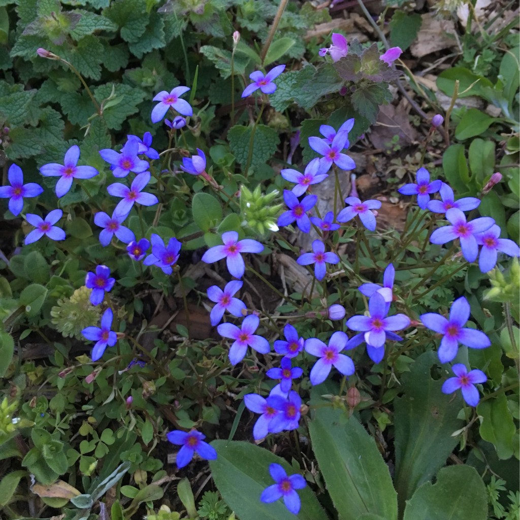 Group of very small purple weed flowers.