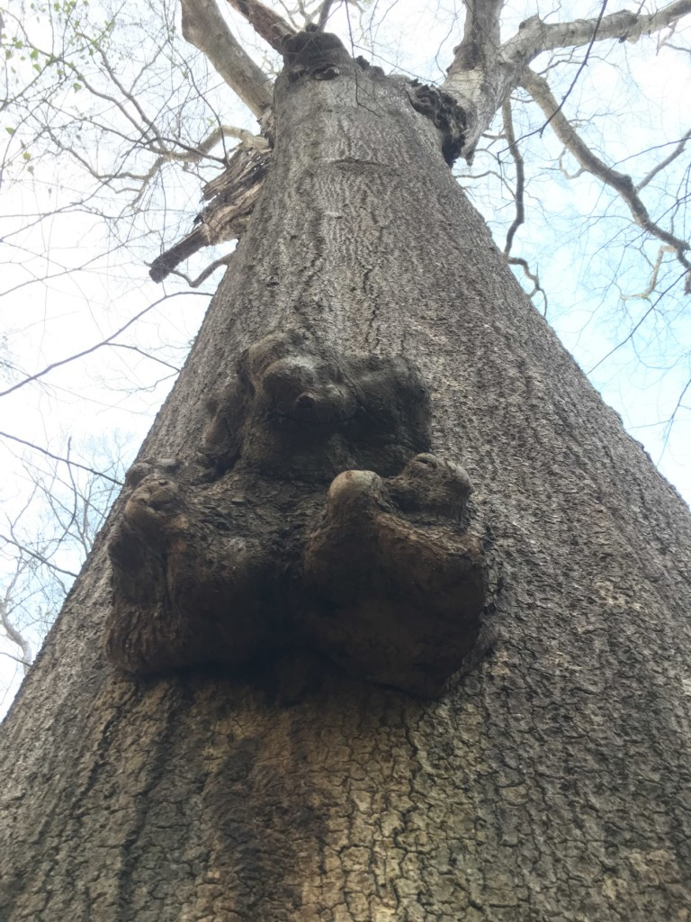 Looking up the trunk of a huge old tree, with a burl a few feet off the ground.